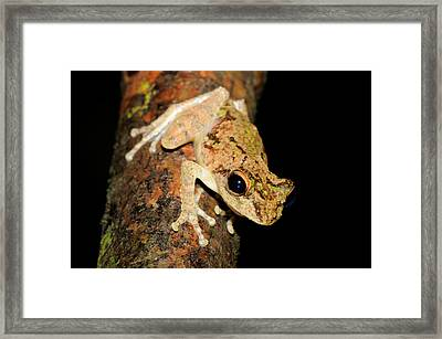 Frilled Tree Frog, Malaysia Framed Print by Fletcher & Baylis