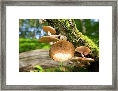 Fungi On An Oak Tree Framed Print by Ashley Cooper