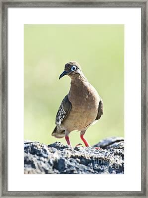 Galapagos Dove Framed Print