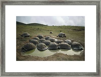 Galapagos Giant Tortoises Wallowing Framed Print by Tui De Roy