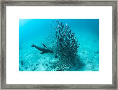 Galapagos Sea Lion Hunting Fish Rabida Framed Print by Tui De Roy