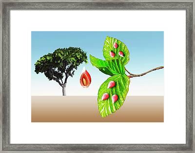 Gall Midge Galls On Beech Tree Framed Print by Mikkel Juul Jensen