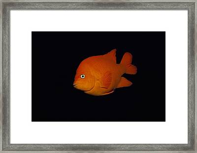 Garibaldi Framed Print by Jeff Rotman