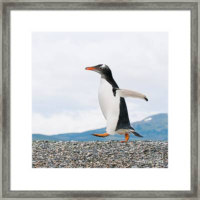 Gentoo Penguin Framed Print by Konstantin Kalishko
