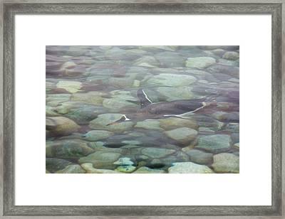 Gentoo Penguins Framed Print