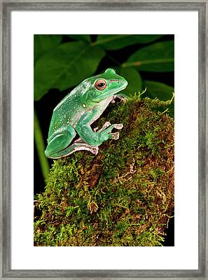 Giant Gliding Treefrog, Polypedates Sp Framed Print by David Northcott
