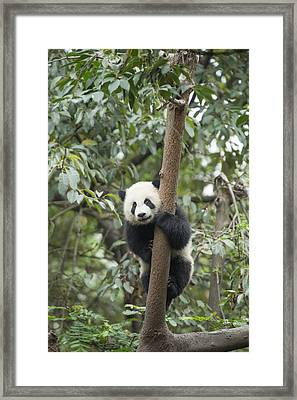 Giant Panda Cub Chengdu Sichuan China Framed Print