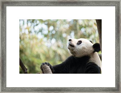 Giant Panda Framed Print by Pan Xunbin