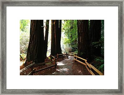 Giant Redwoods Framed Print