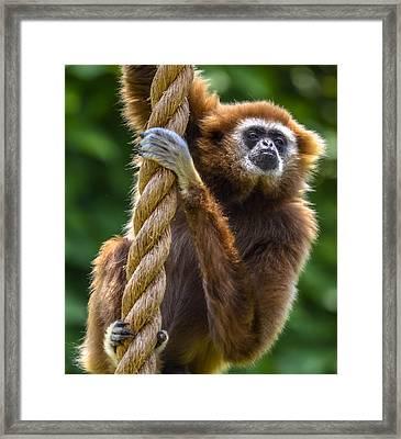 Gibbon Framed Print by Brian Stevens