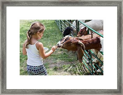 Girl Feeding Goats Framed Print