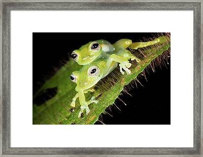 Glass-frogs Mating Framed Print by Dr Morley Read
