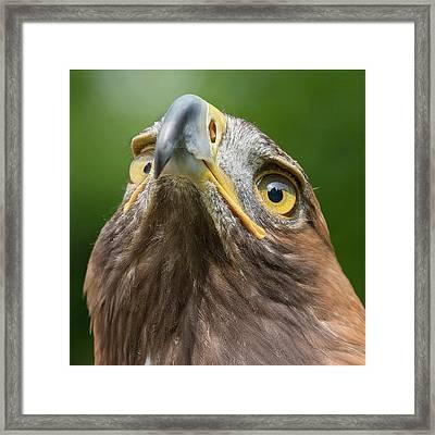 Golden Eagle Framed Print by Linda Wright