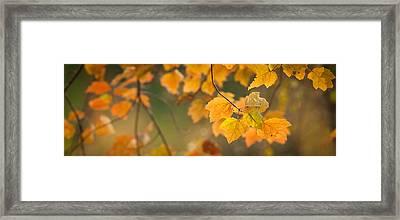 Golden Fall Leaves Framed Print