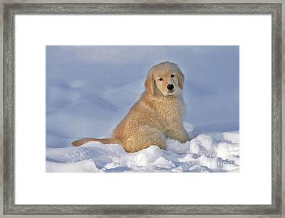 Golden Retriever Puppy Dog Framed Print by Rolf Kopfle