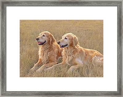 Golden Retrievers In Golden Field Framed Print