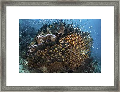 Golden Sweepers Swim Under A Coral Framed Print