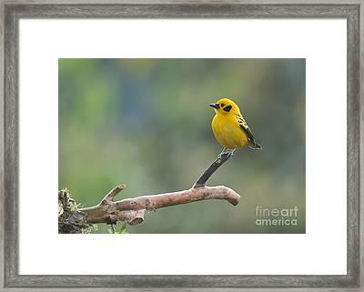 Golden Tanager Framed Print