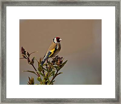 Goldfinch Framed Print by Paul Scoullar