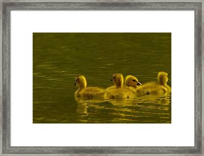 Goslings Framed Print by Jeff Swan