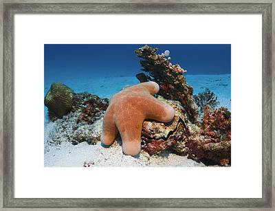 Granulated Seastar Framed Print by Science Photo Library