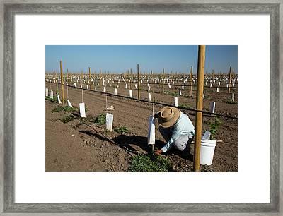Grape Vines Being Tended In Vineyard Framed Print by Jim West