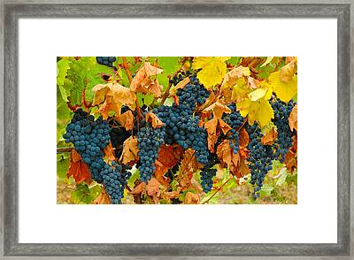 Grapes At Gaillac France Vineyard Framed Print