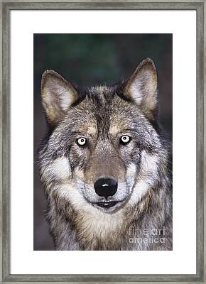 Gray Wolf Portrait Endangered Species Wildlife Rescue Framed Print by Dave Welling