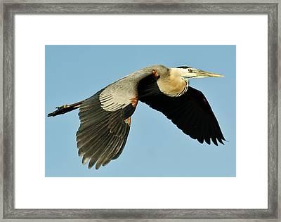 Great Blue Heron In Flight Framed Print by Paulette Thomas