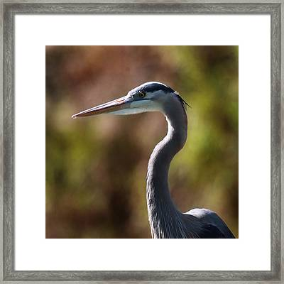 Framed Print featuring the photograph Great Blue Heron by Joseph G Holland