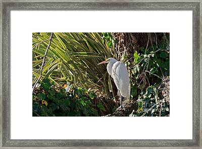 Framed Print featuring the photograph Great Egret by Kate Brown