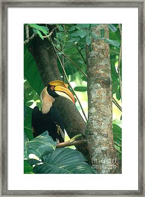 Great Pied Hornbill Framed Print by Art Wolfe