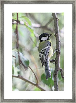 Framed Print featuring the photograph Great Tit - Parus Major by Jivko Nakev