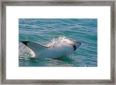 Great White Shark (carcharodon Framed Print