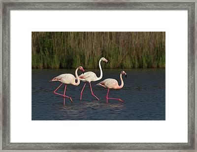 Greater Flamingo, Parc Ornithologique Framed Print