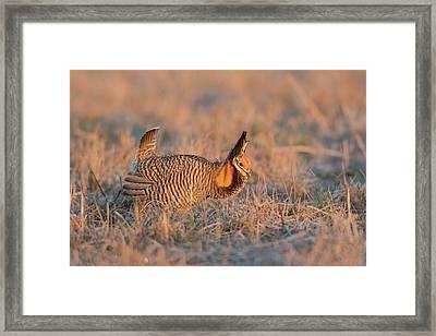 Greater Prairie-chicken (tympanuchus Framed Print