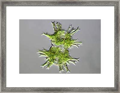 Green Algae Framed Print by Frank Fox