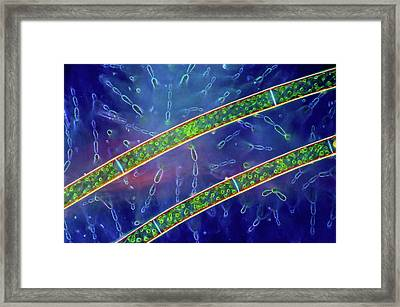 Green And Red Algae Framed Print