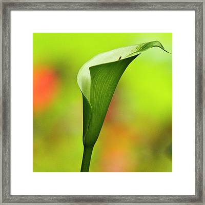 Green Calla Lily Framed Print by Heiko Koehrer-Wagner