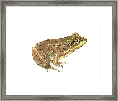 Green Frog Framed Print by Cindy Hitchcock