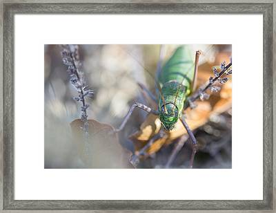 Framed Print featuring the photograph Green Grasshopper Ephippiger by Jivko Nakev