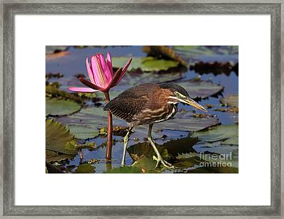 Green Heron Photo Framed Print