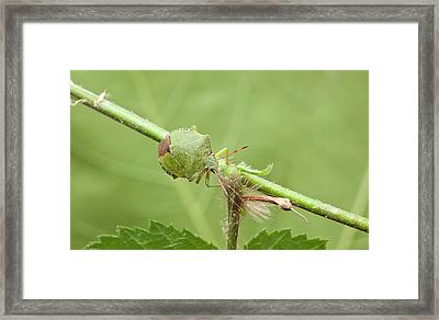 Green Shield Bug Framed Print by Natural History Museum, London