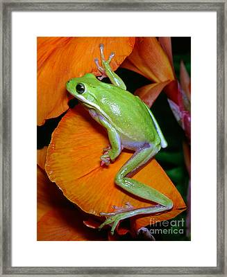 Green Tree Frog Framed Print by Millard H Sharp