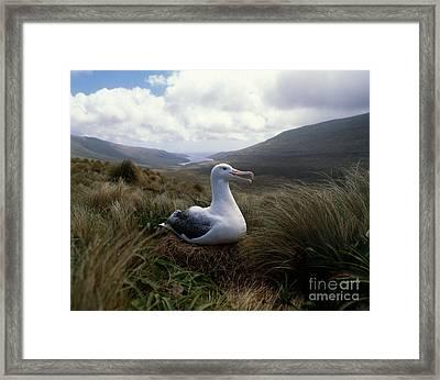 Grey-headed Albatross Framed Print by Hans Reinhard
