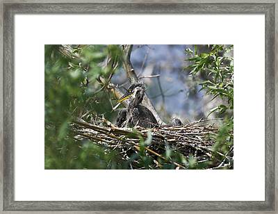 Grey Heron (ardea Cinera Framed Print by Martin Zwick