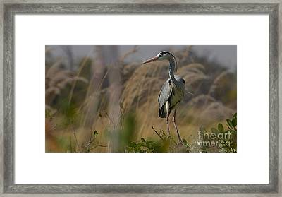 Grey Heron Framed Print