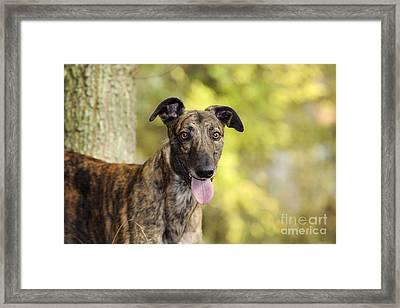 Greyhound Dog Framed Print by John Daniels