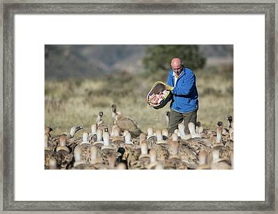 Griffon Vulture Conservation Framed Print by Nicolas Reusens