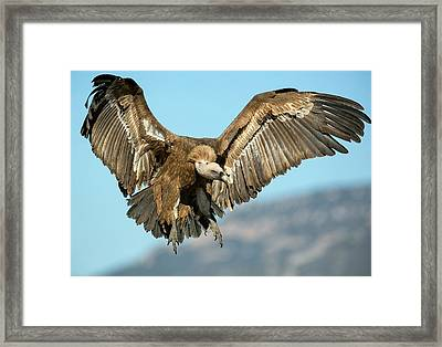 Griffon Vulture Flying Framed Print by Nicolas Reusens